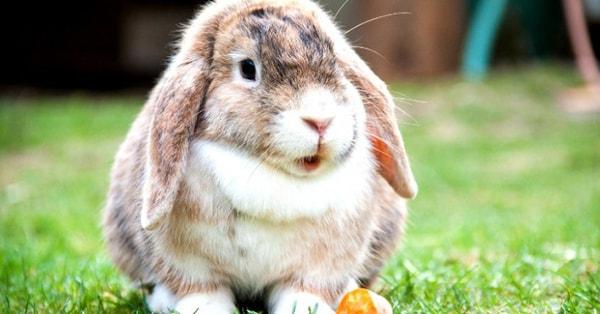 Ăn thịt thỏ có tốt không? Thịt thỏ có tác dụng gì?
