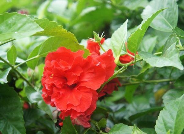 Truyền thuyết về loài hoa Phù Dung