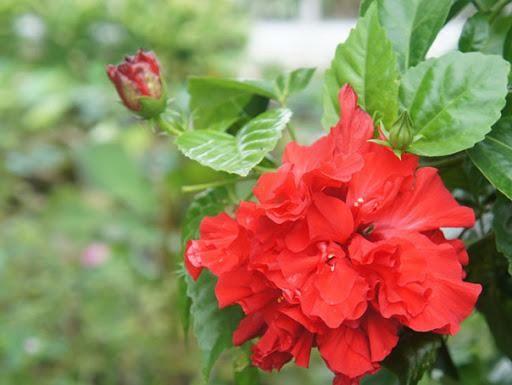 Hoa Phù Dung tượng trưng cho tình yêu trái ngang
