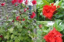 Tìm hiểu ý nghĩa hoa Phù Dung