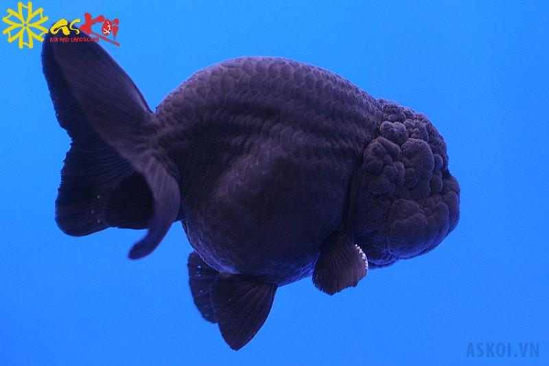 Cá Ranchu đen