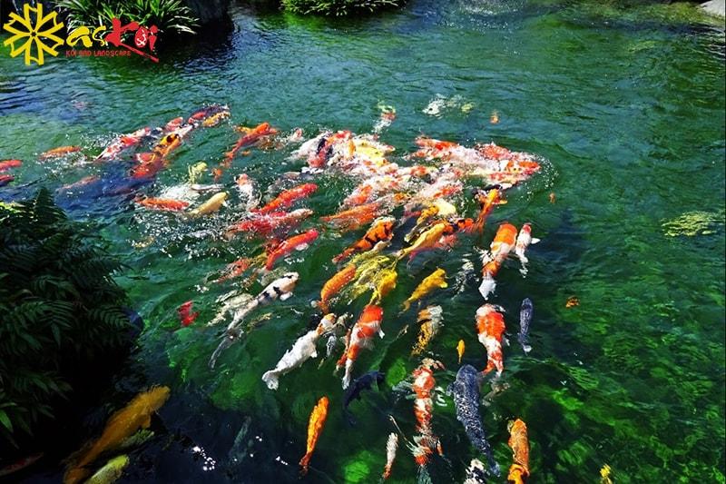 Cá chép Koi thích hợp nuôi trong hồ