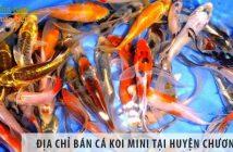 Địa chỉ bán cá koi mini đẹp, giá rẻ tại huyện Chương Mỹ