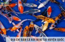 Địa chỉ bán cá koi mini đẹp, giá rẻ tại huyện Quốc Oai