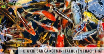 Địa chỉ bán cá koi mini đẹp, giá rẻ tại huyện Thạch Thất